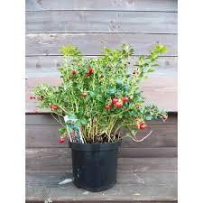 mirtillo in vaso mirtillo rosso europeo vendita vivai piante gabbianelli