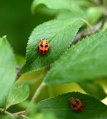 ladybug life cycle naturesurrounds
