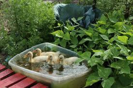 successfully managing ducks in the garden backyard chickens