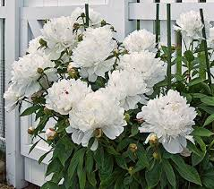 pianese flowers peonies peony planting guide white flower farm