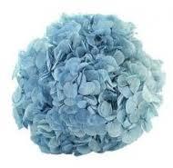 bulk hydrangeas bulk hydrangea bulk flowers blue hydrangea white hydrangea