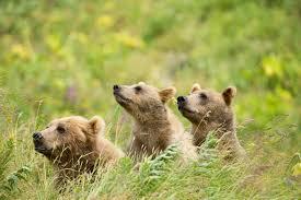 Alaska Wildlife images Faqs the repeal of the alaska national wildlife refuge rule jpg