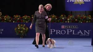 what is the dog show on thanksgiving nat u0027l dog show cavalier king charles spaniel 11 26 09 youtube