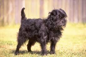 affenpinscher vs brussels griffon affenpinscher puppies for sale from reputable dog breeders