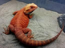 featured bearded dragons dragon u0027s den herp