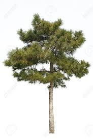 small pine tree isolated on white stock photo picture and royalty