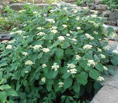 native plants of pa hydrangea arborescens wild hydrangea seed and plants