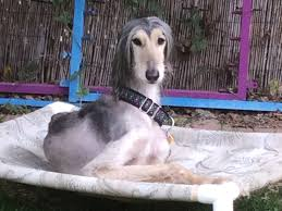 belgian sheepdog rescue trust facebook adoptable dogs afghan hound rescue