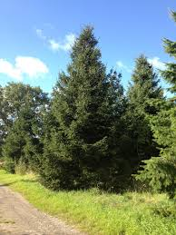 traditional spruce 15ft 20ft trees