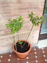 mirtillo in vaso vaccinium corymbosum forum di giardinaggio it