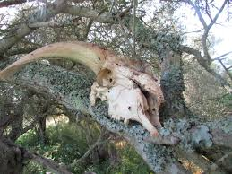 file 2017 03 28 rams skull in a tree on the of the alte