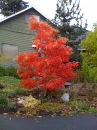 56 best oxydendrum images on flowering trees shrubs