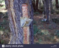 tapping tree resin from a pine tree to make home made retsina on