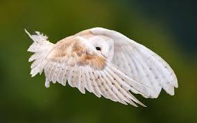 flying owl 6906819