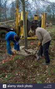 wiring up root ball on a large tree being lifted dug up in a