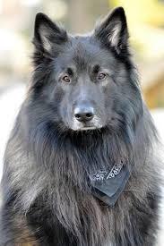belgian sheepdog hound majestic belgian shepherd dog groenendael dog photography puppy