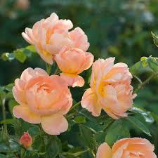 orange roses apricot orange roses