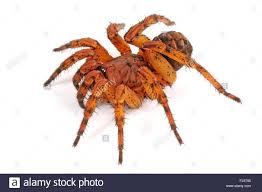 Male Spider Anatomy Trapdoor Spiders Venomous U0026