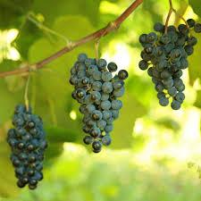 buy norton cynthiana grape vines for sale double a vineyards