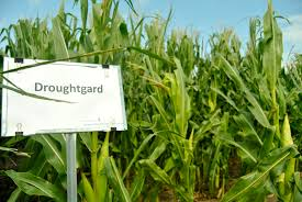 fighting drought with a super corn great american adaptation