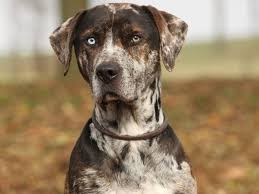 10 boxer dog facts catahoula leopard dog info u0026 pictures the o u0027jays sled and being