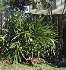 Rhapidophyllum Wikipedia