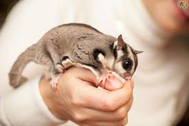 are sugar gliders good pets 7 reasons you must know