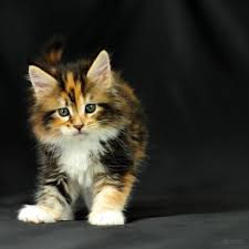 2048 x 2048 maine coon tricolor kitten extraordinary maine coon cats