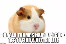 Guinea Pig Meme - guinea pig imgflip