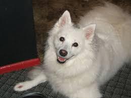american eskimo dog giving birth 2011 february joyanna adams