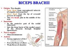 Supraglenoid Tubercle Arm U0026 Elbow Joint