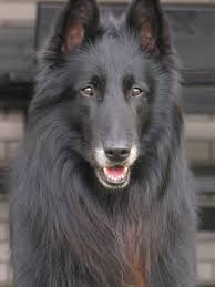belgian sheepdog drawings update discussion my parents just inherited two one year old