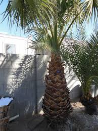 116 6ft mexican palm affordable tree service las vegas nv