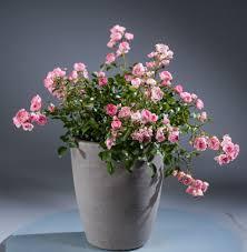 K Hen G Stig Online Bodendeckerrose The Fairy Rosa The Fairy Günstig Online Kaufen