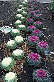 50 mixed ornamental cabbage flowering brassica