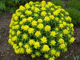 flower plants euphorbia is tropical plants with a lot of species some of them