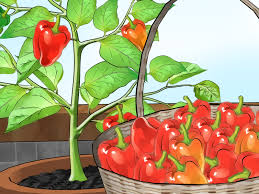 3 ways to grow bell peppers indoors wikihow