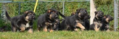 belgian sheepdog for sale in texas german shepherd puppies dutch shepherd puppies belgian malinois