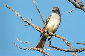 New Mexico birds images Vent birding tours birding and natural history tours trips jpg