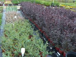 canberra native plants gondwana wholesale native plant nursery australia