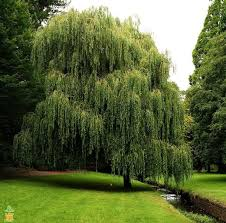 how to plant a weeping willow tree solidaria garden