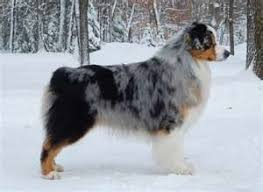 australian shepherd male names saved by dogs shepherding collies a collie by another name