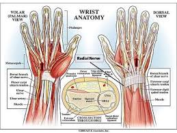 A Picture Of The Human Anatomy Of The Fingers In The Human Hand Why Is The Ring Finger The Most
