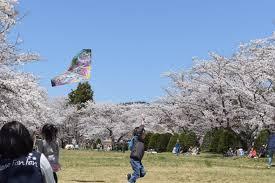 cherry blossoms hida takayama guest house ouka
