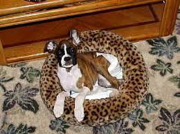 boxer dog kidney problems suki u0027s page