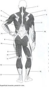 The Human Anatomy Muscles Anatomy Of Human Muscles Humananatomybody Info A U0026p Pinterest