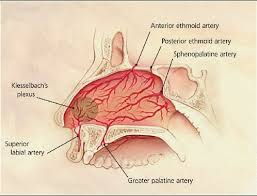 Nose Anatomy And Physiology Biology Diagrams Images Pictures Of Human Anatomy And Physiology