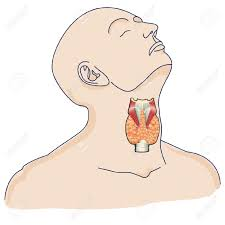 luxury where is the thyroid gland located 70 for anatomy of the