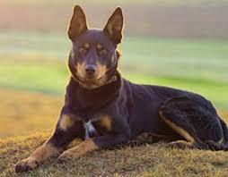 australian shepherd kelpie canadian dogs online australian kelpie canadian dogs online