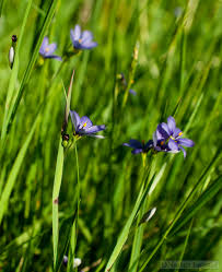 common blue eyed grass writing for nature